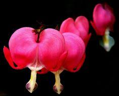 beautiful bleeding heart hanging heart flower seeds by cheapseeds