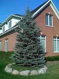 blue spruce the majestic colorado blue spruce the living urn