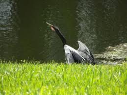 anhinga anhinga anhinga this is a snake bird that lives in my