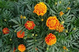 how well would a plant grow under pure yellow light marigolds how to plant grow and care for marigold flowers the