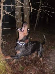 bluetick coonhound figurine bluetick coonhound dog breed pictures 2