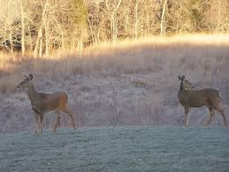 blue jay barrens yard deer