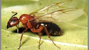 Winged Termites In Bathroom Garden Column Flying Ants Creating Problems In Homes And They