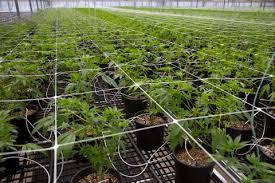 Flowers Salinas - green rush u0027 in salinas valley turns fields from chrysanthemums to