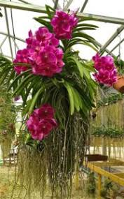 vanda orchid how to grow vanda orchids care tips houseplant 411 how to