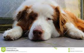 australian shepherd illustration sleeping australian shepherd dog stock photo image 65857732