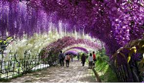 purple wisteria various vines outdoor decorations for home
