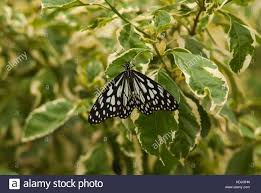 the white tiger butterfly black veined tiger white tiger common