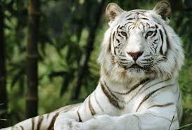white tigers aren t an endangered species or a species at all