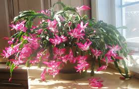 cactus schlumbergera buckleyi our house plants