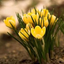 best selling yellow saffron seeds bonsai garden flowers plant diy