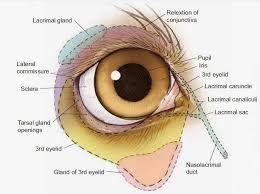 Picture Of Eye Anatomy Eye Opener Anatomy Ocular Adnexa
