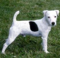 jack russell american pitbull terrier mix adopt a jack russell terrier dog breeds petfinder