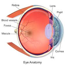 Cortical Blindness May Result From The Destruction Of Macula Of Retina Wikipedia