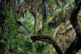 Florida forest images View of an overgrown tropical forest in southwest florida stock jpg
