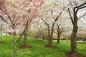 buffalo cherry blossom festival may may 5 6 2018 home