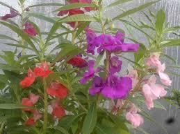 indoor flowering plants geraniums indoors the old farmerus almanac geraniums indoor