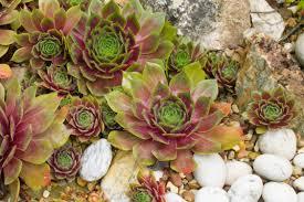 australian native plants for rock gardens video and photos how to grow violas in a home garden