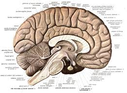 Human Brain Mapping Neuroanatomy Wikipedia
