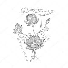 engraving hand drawn illustration of lotus flower bouquet u2014 stock
