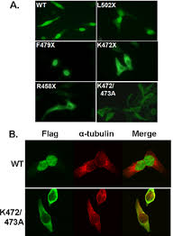 Chamber Flag Pfkfb3 Localizes To The Nucleus A Hela Cells Were Plated Onto