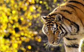 beautiful tiger wallpapers hd wallpapers