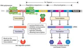 bacterial genes are organized in operons learn science at scitable