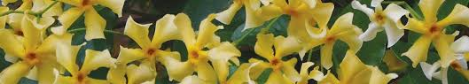 Fragrant Climbing Plant - climbing plants for walls and fences plants for a purpose