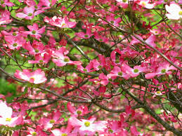 Trees With Pink Flowers File Inside Pink Dogwood Tree Flowers West Virginia