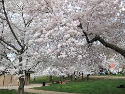 white cherry blossom national cherry blossom festival national cherry blossom