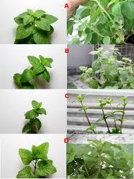 Types Of Flower Gardens Identification Identifying Types Of Mints In My Garden