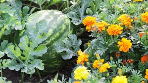 12 Best Annual Flowers For by 12 Best Herbs And Flowers For Companion Planting With Vegetables