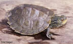 map turtle species profile common map turtle graptemys geographica srel