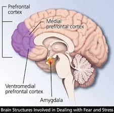 brain anatomy the hippocampus hypothalamus thalamus amygdala