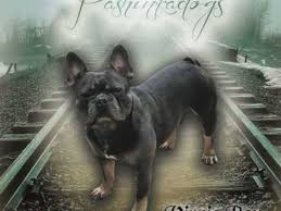 french bulldog dogs and puppies for stud in tadworth pets4homes