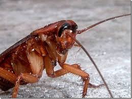 Flying Cockroach Meme - 10 ways to survive a flying cockroach flying ipis attack when in