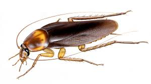 cockroach brains hold antibiotics