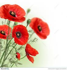 poppies flowers poppies flowers border stock photo 25429184 megapixl