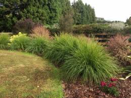 new ornamental grasses are extremely effective in the landscape