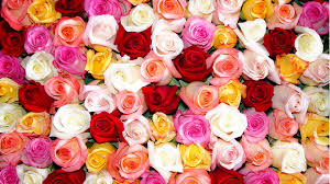 multi colored roses multi colored roses wallpaper high definition high quality