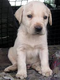 labrador retriever dogs labrador breeders puppies sale
