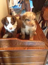 australian shepherd orange australian shepherd puppies for sale