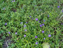 native plant seeds for sale ruellia squarrosa prostrate petunia
