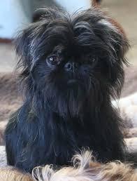 affenpinscher vs german shepherd best 20 miniature dog breeds ideas on pinterest miniature dogs