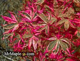 acer palmatum geisha is an excellent and pink