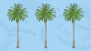 l a s palm trees are dying and it s changing the city s