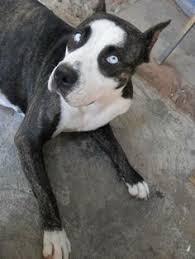 american pitbull terrier dalmatian mix the 10 rarest pit bull coat colorations a place for pitbulls