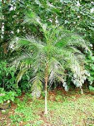 cold hardy palm trees collection on ebay