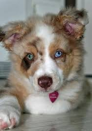 australian shepherd youtube tricks dog breed test can you match the following list of dog breeds