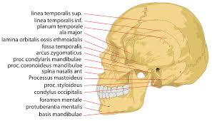 Human Anatomy Skeleton Diagram Free Vector Graphic Skull Human Head Cranium Free Image On